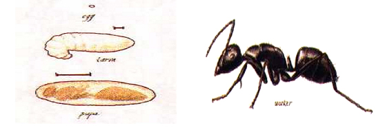 carpenter_ants